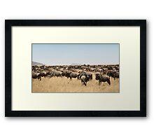 Wildebeest Migration, Maasai Mara, Kenya Framed Print