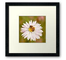 Busy Bee in a Daisy Framed Print