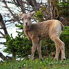 Baby Bighorn - Banff National Park by JamesA1