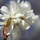 Arkansas Sarvis Tree,  Blossom by Carolyn Wright