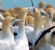 GANNET BEAUTY - CAPE GANNET - {Morus capensis}, by Magriet Meintjes