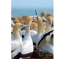 GANNET BEAUTY - CAPE GANNET - {Morus capensis}, Photographic Print