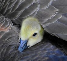 there is no better place than under mom's wing by supergold