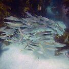 Schooling Fish by springs