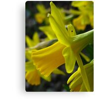 Narcissus forest Canvas Print