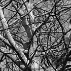 Sunlit Winter Branches (B&W) by Artberry