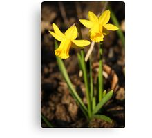 First Daffodils of Spring Canvas Print