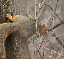 Horizontal Squirrel - City Park, Sumner, Iowa by Deb Fedeler