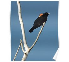 Redwing Blackbird Along A Country Road Poster