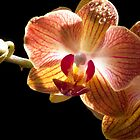 orchid Phalaenopsis backlit by sloweater