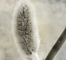 Pussy Willow by SunDwn