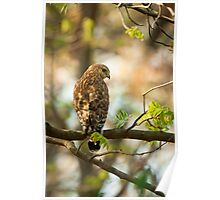 Red Shouldered Hawk On The Hunt Poster