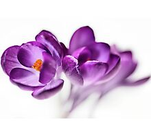 Serene Crocus... (2) Photographic Print