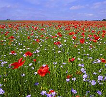 Poppy field in England by sloweater