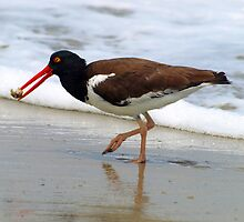 Oyster Catcher by kimbarose