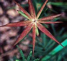 Red 9 star flower nr Denmark Western Australia 198208280049 by Fred Mitchell