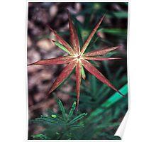 Red 9 star flower nr Denmark Western Australia 19820828 0049 Poster