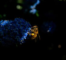 Bee on Cyanotis by DMontalbano