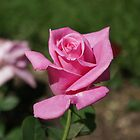A new rose by pcfyi