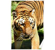 Female Bengal Tiger Poster