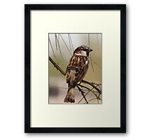 House Sparrow (Male~Breeding Plumage) Framed Print