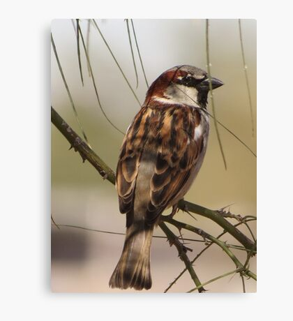 House Sparrow (Male~Breeding Plumage) Canvas Print