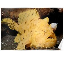Hispid Frogfish, North Sulawesi, Indonesia Poster