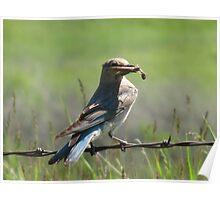 Female Mountain Bluebird Poster