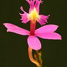 Crucifix Orchid by Michael Matthews