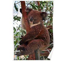 Happy Koala Poster