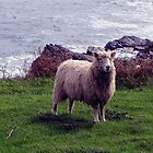 Lone Devon Long Wool Sheep Standing On Remote Coastline In South Devon by richard wolfe