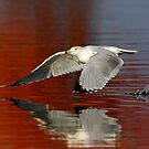Seagulling across the waters by Jim Cumming