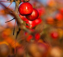Crab Apple Bright by Anne Gilbert