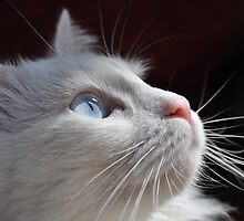Cat with blue eyes by Katerina Vorvi