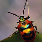 Shield-backed bug 2. by jimmy hoffman
