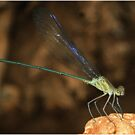 *ZYGOPTERA* - Family Calopterygidae Demoiselles (Damselflies) by Magriet Meintjes