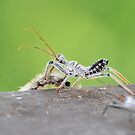 Wheel Bug Nymph (Arilus cristatus) by Jeff Ore