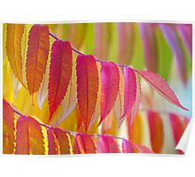 Staghorn sumac in vibrant colours. Poster