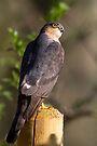 Wild Male Sparrowhawk by Neil Bygrave (NATURELENS)