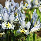 Dwarf Iris by redown