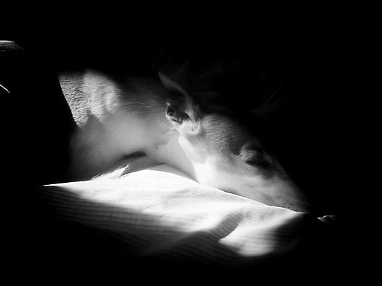 Let Sleeping Whippets... by Shirin Hodgson-Watt