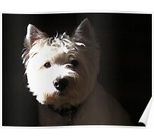 A black and white West Highland White Terrier Poster