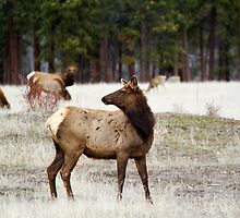 Looking over her shoulder, cow elk in the spring by amontanaview