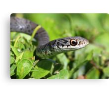 Florida garter snake Canvas Print