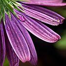 Purple daisy petals by Celeste Mookherjee