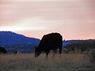 Sunset Cow by BettyEDuncan