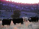 A Happy Herd in Hereford by BettyEDuncan