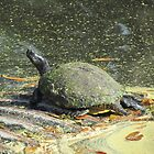 Turtle by Cynthia48