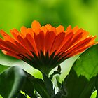 Back Lit Orange Flower by Kathy Baccari