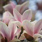 Blooming Magnolia Tree by Lynn Starner